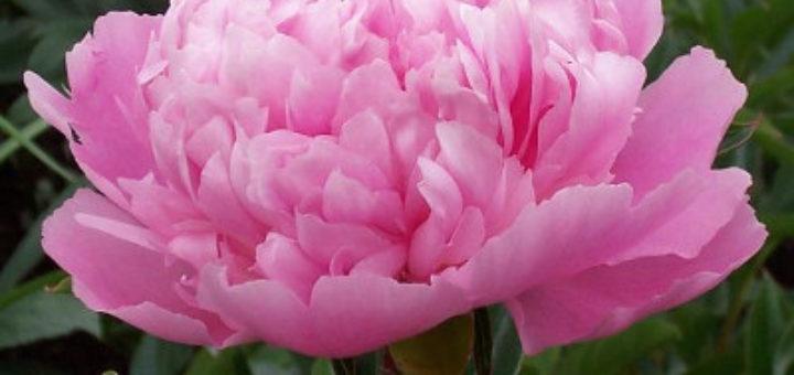 Plante vivace exterieur pivoine etc for Plante fushia exterieur