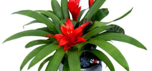 fleur bromelia entretien