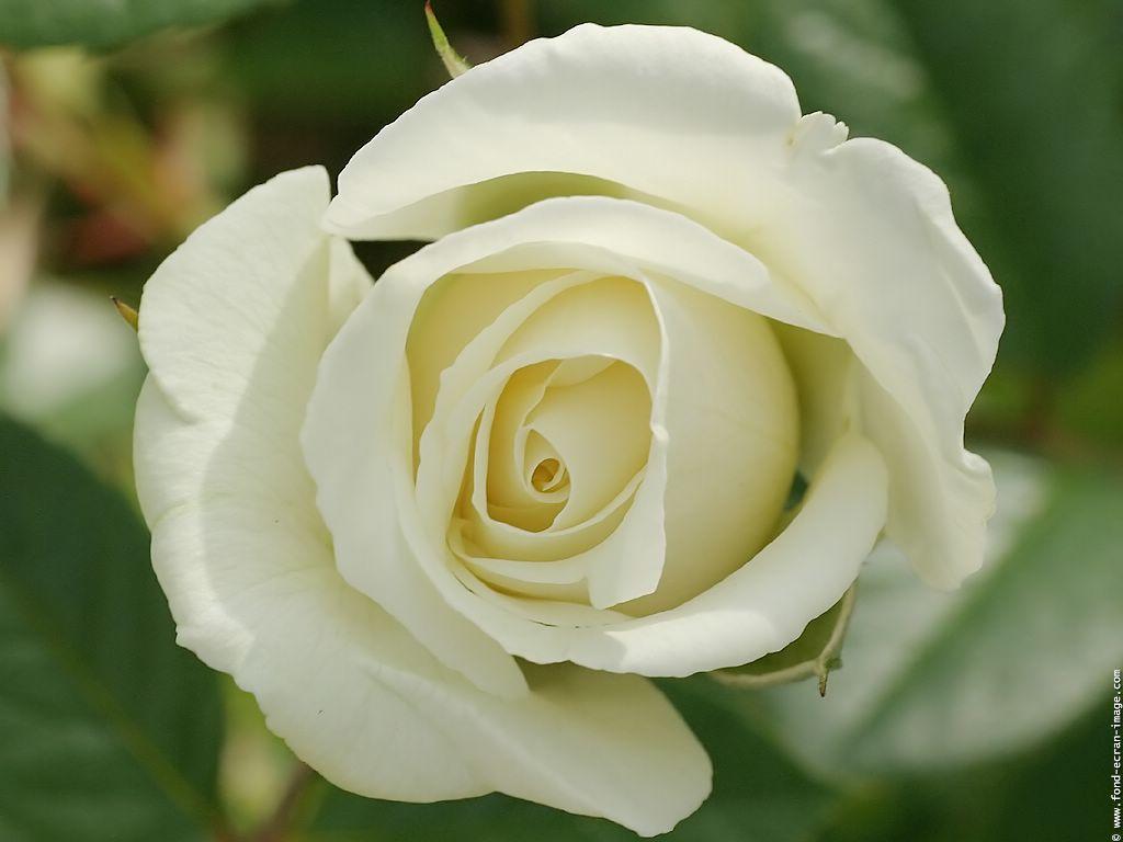 signification rose blanche enterrement pivoine etc. Black Bedroom Furniture Sets. Home Design Ideas