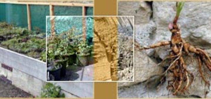 Planter une pivoine en pot - pivoine etc