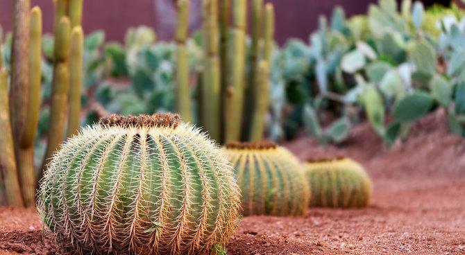 entretien cactus exterieur pivoine etc. Black Bedroom Furniture Sets. Home Design Ideas