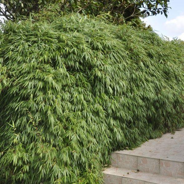 bambou fargesia rufa en pot pivoine etc. Black Bedroom Furniture Sets. Home Design Ideas