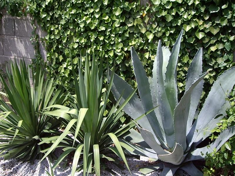 plante grasse jardin pivoine etc. Black Bedroom Furniture Sets. Home Design Ideas