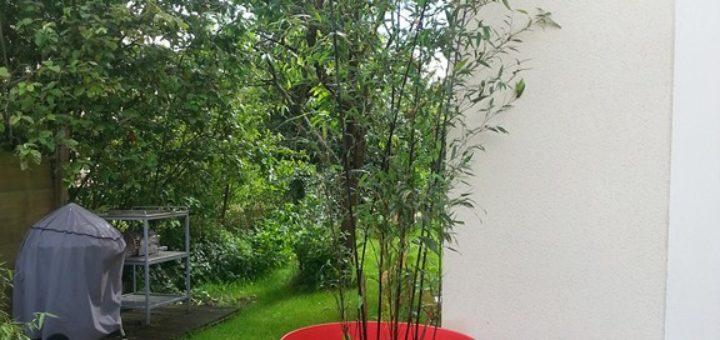 bambou bissetii en pot pivoine etc. Black Bedroom Furniture Sets. Home Design Ideas