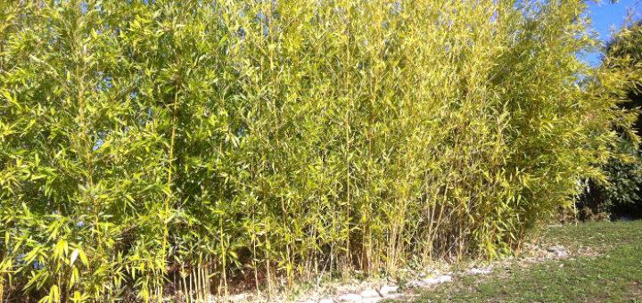 bambou haie pivoine etc. Black Bedroom Furniture Sets. Home Design Ideas