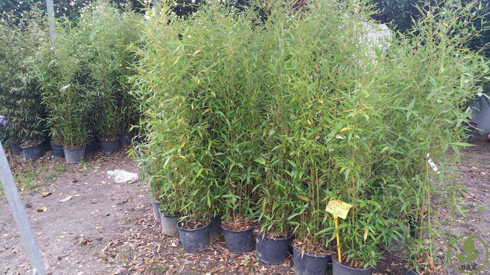 comment planter les bambous en haie pivoine etc