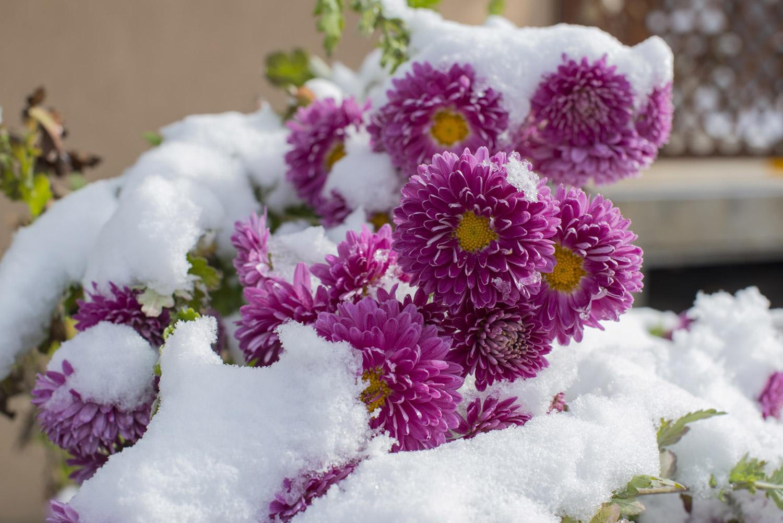 plante fleuri en pot qui ne gele pas pivoine etc. Black Bedroom Furniture Sets. Home Design Ideas