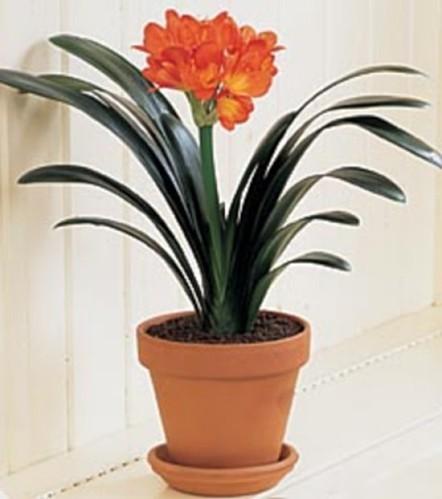 plantes grasses fleuries d int rieur pivoine etc. Black Bedroom Furniture Sets. Home Design Ideas