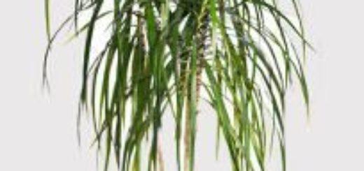 Achat de plantes en ligne pivoine etc for Achat plante verte en ligne