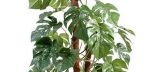Plantes m diterran ennes rustiques pivoine etc for Yuka plante exterieur