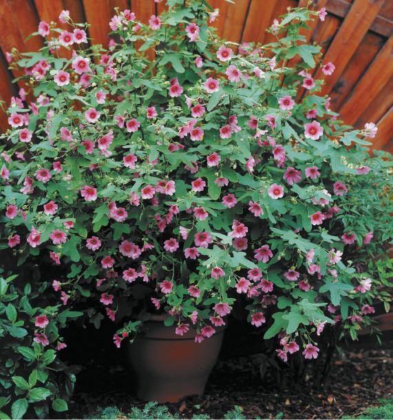 Plante anisodontea el rayo pivoine etc for Belle plante exterieur