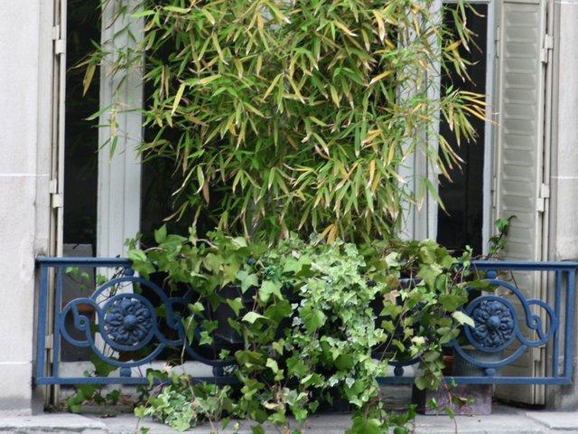 bambou en pot balcon pivoine etc. Black Bedroom Furniture Sets. Home Design Ideas