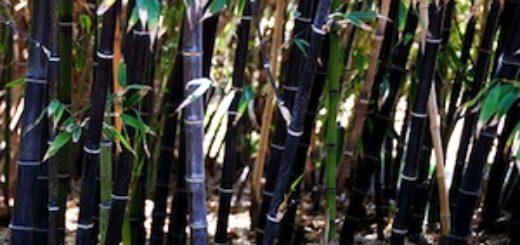 bambou non tracant a croissance rapide pivoine etc. Black Bedroom Furniture Sets. Home Design Ideas