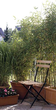 acheter bambou en pot pivoine etc. Black Bedroom Furniture Sets. Home Design Ideas