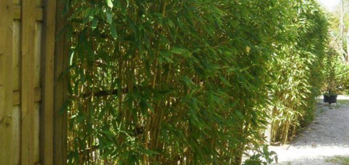 comment planter du bambou en haie pivoine etc. Black Bedroom Furniture Sets. Home Design Ideas