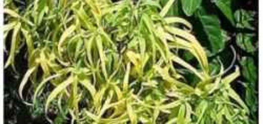 Plante vivace exterieur pivoine etc for Acheter plante exterieur