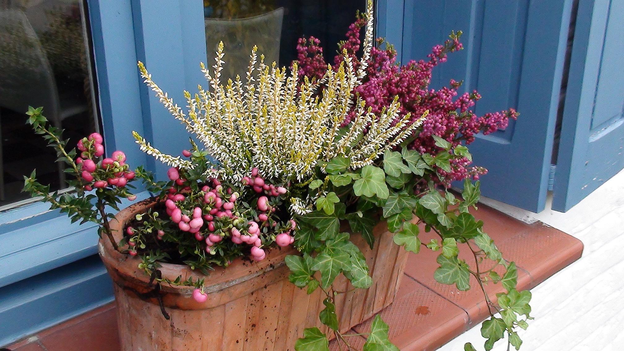 fleurs d automne pour jardini res pivoine etc. Black Bedroom Furniture Sets. Home Design Ideas