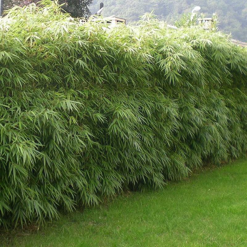 bambou geant pousse rapide pivoine etc. Black Bedroom Furniture Sets. Home Design Ideas