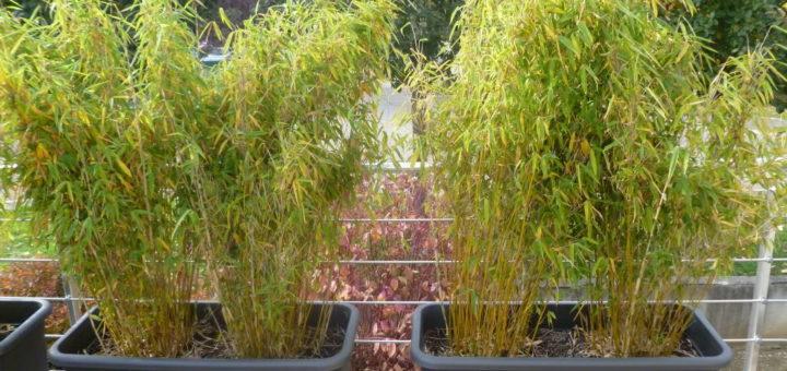 Bambou bac terrasse pivoine etc - Bambou en bacs terrasse ...