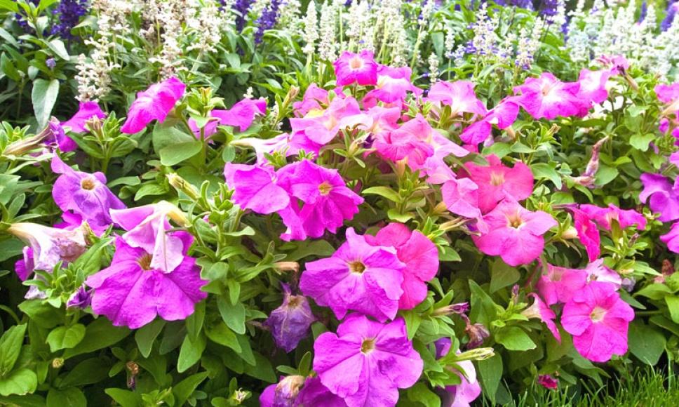 Plantes Vivaces Pivoine Etc