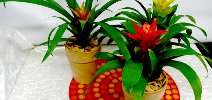 plantes qui fleurissent en hiver pivoine etc. Black Bedroom Furniture Sets. Home Design Ideas