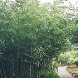 planter bambou dans jardiniere pivoine etc. Black Bedroom Furniture Sets. Home Design Ideas