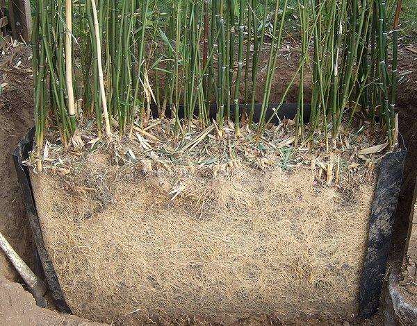 Quand planter des bambous - pivoine etc