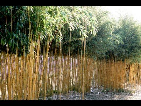 Tailler un bambou en pot pivoine etc - Tailler un citronnier en pot ...