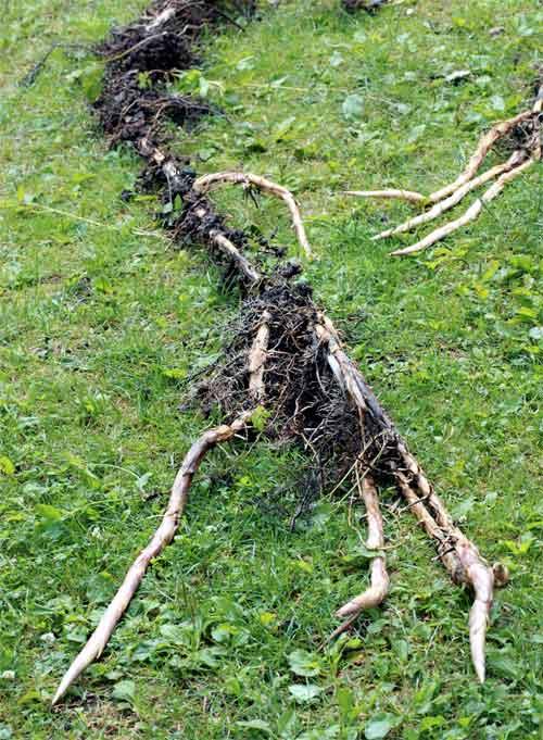 Ou planter un bambou pivoine etc - Replanter un bambou coupe ...