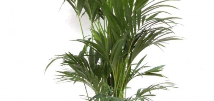 Plante verte palmier pivoine etc - Plante verte palmier d interieur ...