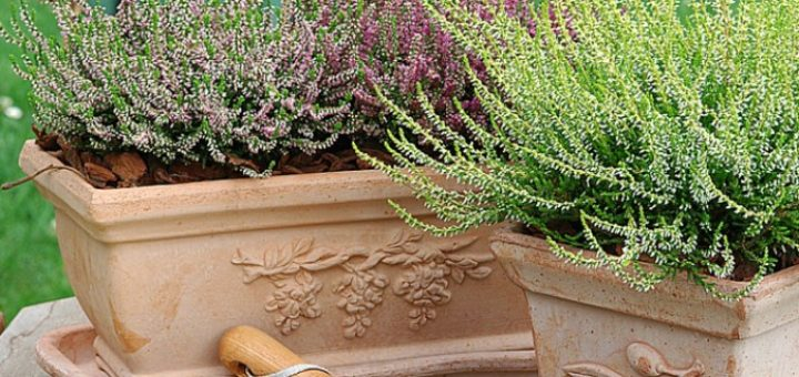 Hivernage plantes en pot pivoine etc for Hivernage des plantes