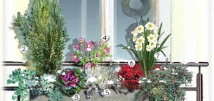 plante pour balcon hiver pivoine etc. Black Bedroom Furniture Sets. Home Design Ideas