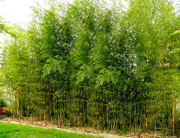 bambou phyllostachys aurea en pot pivoine etc. Black Bedroom Furniture Sets. Home Design Ideas