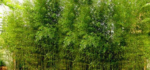Plante de bambou entretien pivoine etc - Entretien des bambous ...