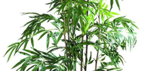 cultiver bambou en pot pivoine etc. Black Bedroom Furniture Sets. Home Design Ideas