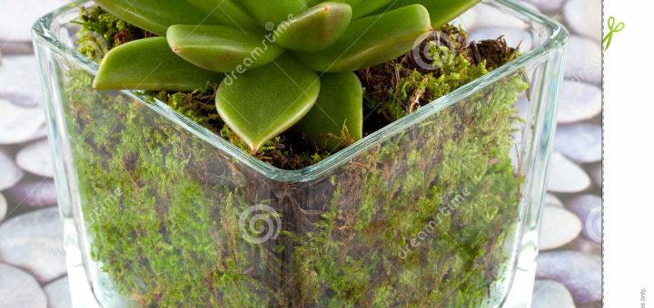 Plantes succulentes d interieur - pivoine etc