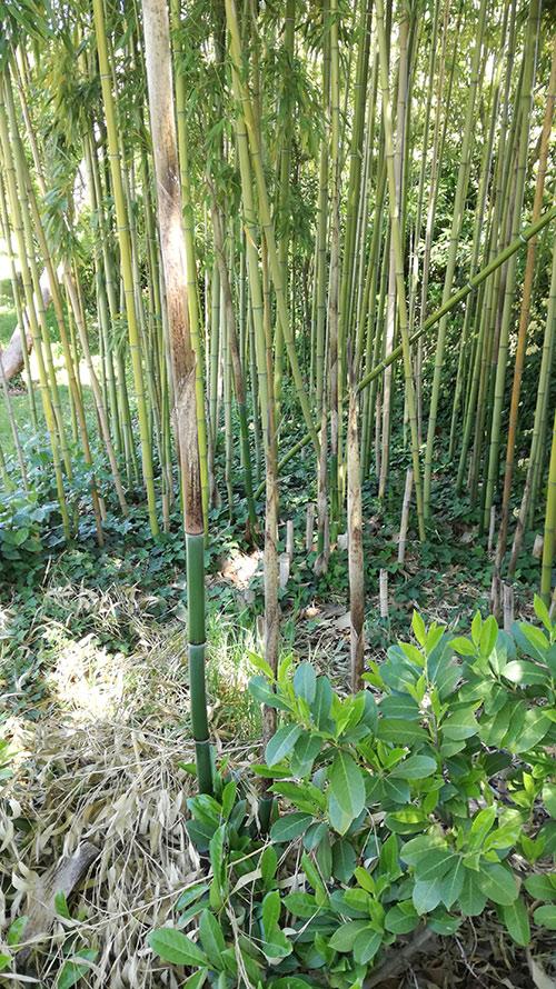 La pousse des bambous pivoine etc - Replanter un bambou coupe ...