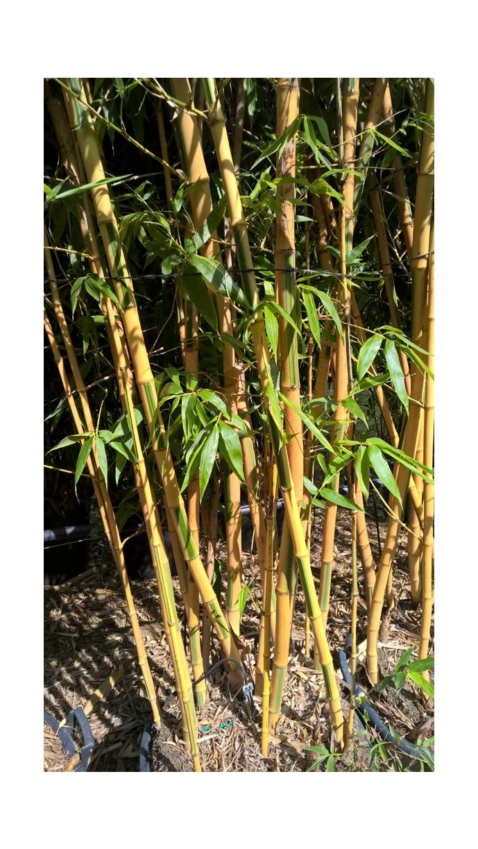 Bambou phyllostachys bissetii entretien pivoine etc - Entretien des bambous ...