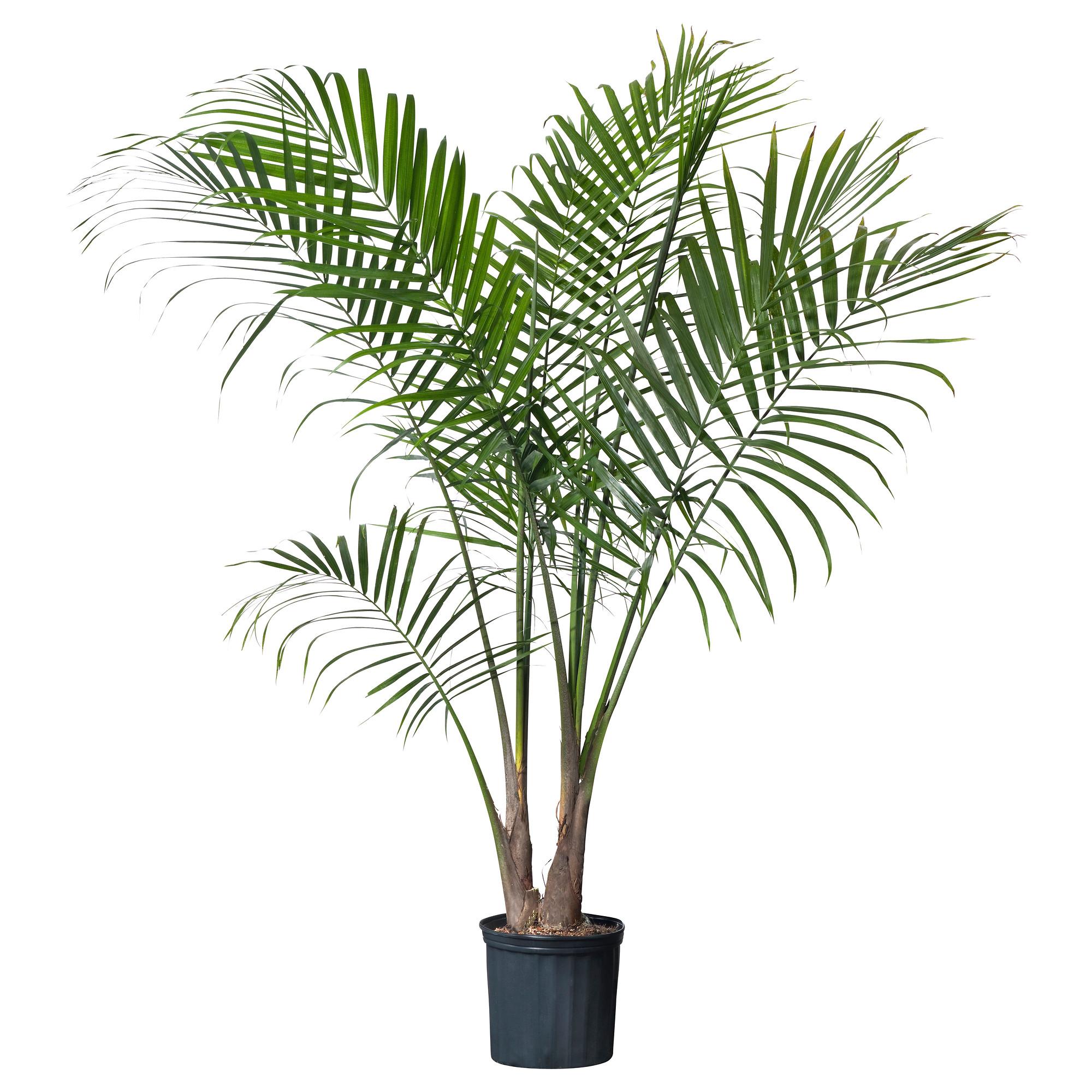 plante tropicale en pot pivoine etc. Black Bedroom Furniture Sets. Home Design Ideas