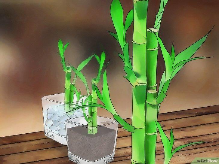 Faire pousser bambou coup pivoine etc - Replanter un bambou coupe ...