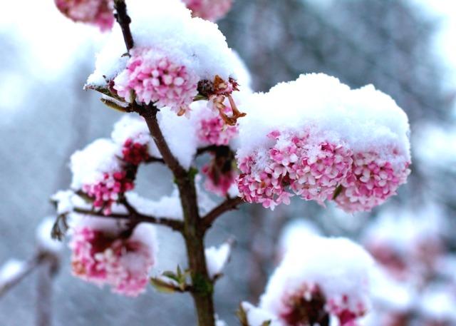 Plante fleurie en hiver pivoine etc - Plante fleurie exterieur hiver ...